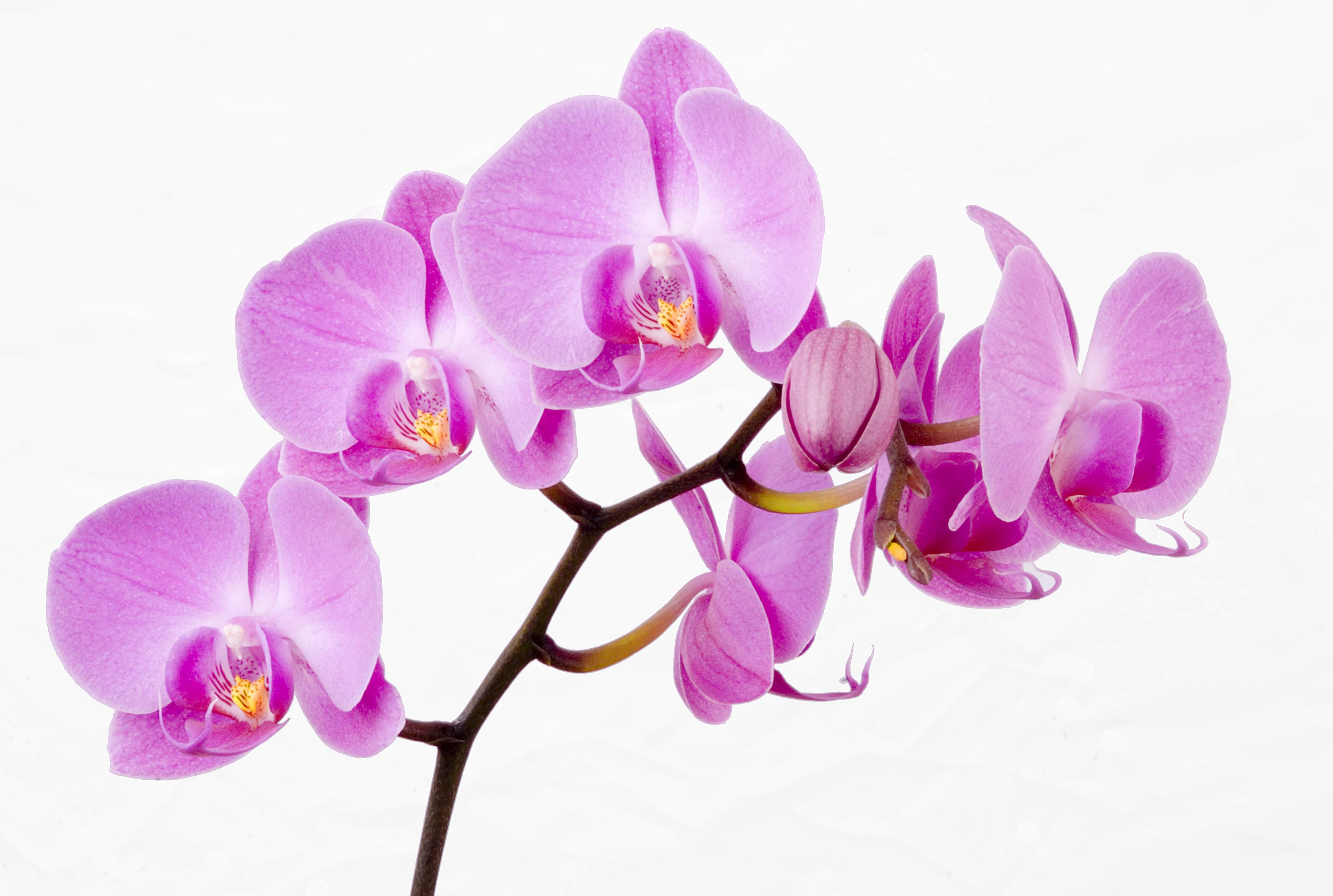 Como cuidar orquídeas para que florezcan