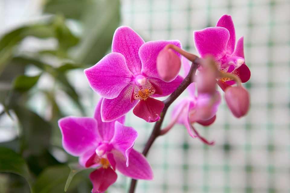 Duración de las flores de la orquídea