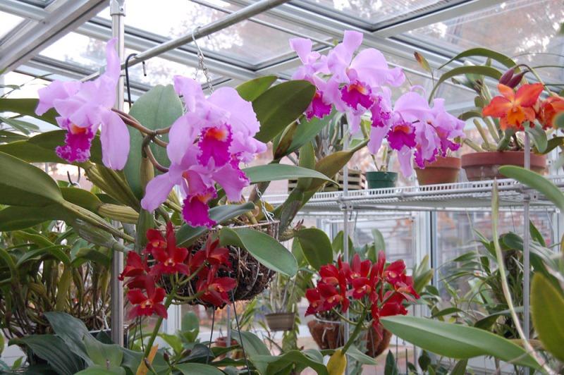 Orquídeas en invernadero