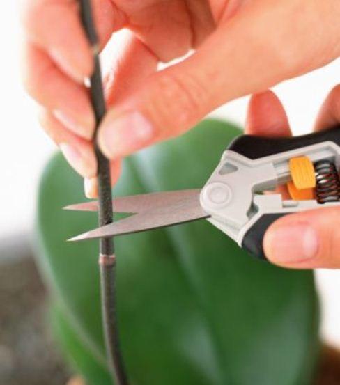 Cuándo realizar la poda de la orquídea para que florezca