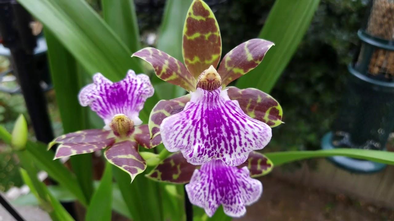 Orquideas zygopetalum
