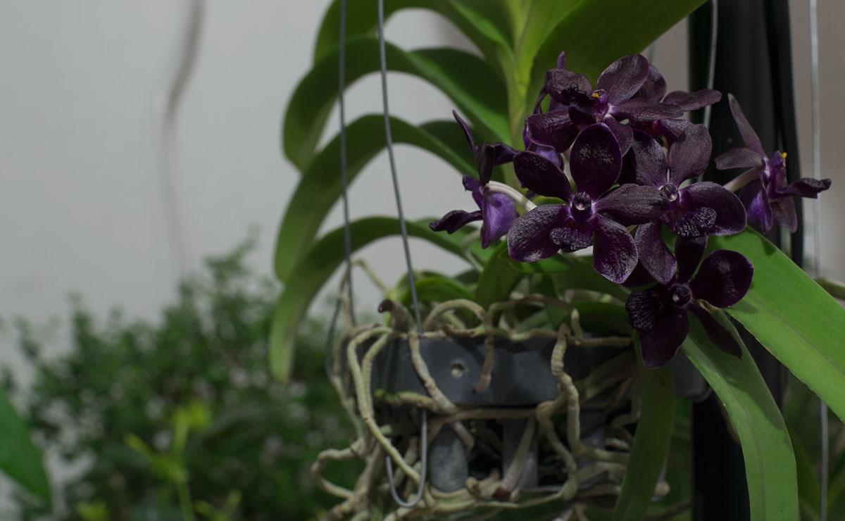 Orquideas negras