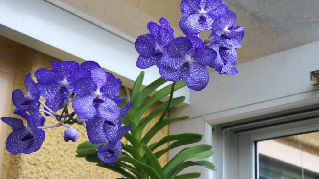 Vanda Coerulea: la orquídea azul